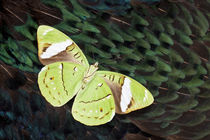 Olive Green Butterfly on Breast Feathers of Ring-Necked Phea... von Danita Delimont