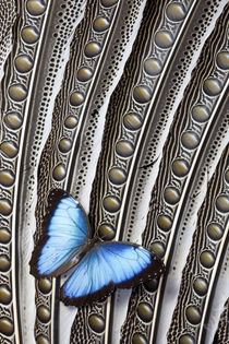 Butterfly, Blue Morpho, on Feather Argus Pheasant Wing Design by Danita Delimont