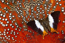 Butterfly on Tragopan Body Feather Design von Danita Delimont