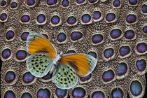 Butterfly on Grey Peacock Pheasant Feather Design von Danita Delimont