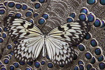 Paper Kite Butterfly on Grey Peacock Pheasant Feather Design by Danita Delimont