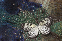 Paper Kite Butterfly on Breast Feathers of Ring-Necked Pheasant Design by Danita Delimont