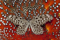 Paper Kite Butterfly on Tragopan Body Feather Design von Danita Delimont