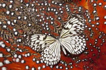 Paper Kite Butterfly on Tragopan Body Feather Design von Danita Delimont