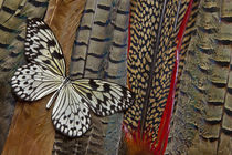 Paper Kite Butterfly on Tail Feathers of variety of Pheasants by Danita Delimont