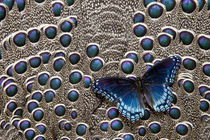 North American Red-spotted Purple Butterfly on Grey Peacock ... von Danita Delimont