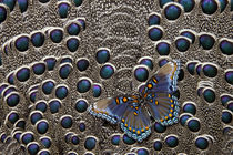 North American Red-spotted Purple Butterfly on Grey Peacock ... by Danita Delimont