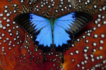 Blue Mountain Swallowtail Butterfly on Tragopan Body Feather Design by Danita Delimont