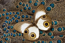 Tan with Eye spots Taenaris catops Butterfly on Malayan Peac... by Danita Delimont