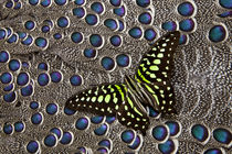 Tailed Jay Butterfly on Grey Peacock Pheasant Feather Design von Danita Delimont
