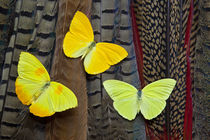 Trio of Yellow Sulfur Butterflies on Tail Feathers of variet... by Danita Delimont