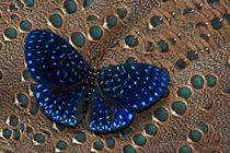 Cracker Butterfly on Malayan Peacock-Pheasant Feather Design by Danita Delimont