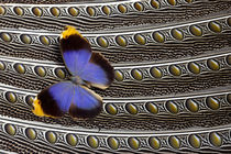 Owl Butterfly on Argus Wing Feathers by Danita Delimont