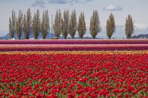 United States, Washington State, Mount Vernon, tulip fields ... by Danita Delimont