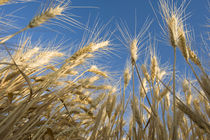 Looking up at ripening heads of Soft White Wheat, Palouse re... by Danita Delimont