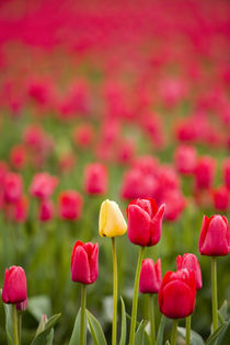 One yellow tulip in a field of red tulips, Skagit Valley, Washington by Danita Delimont