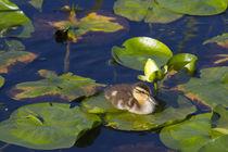 WA, Juanita Bay Wetland, Mallard duck, duckling von Danita Delimont