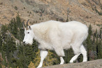 USA, Washington State, Alpine Lakes Wilderness, Mountain goat von Danita Delimont
