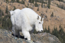 Washington State, Alpine Lakes Wilderness, Mountain goat, Nanny von Danita Delimont