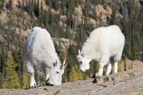 Washington State, Alpine Lakes Wilderness, Mountain goats, N... von Danita Delimont