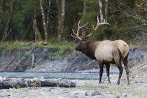 Roosevelt Bull Elk by Danita Delimont