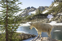 Mountain Goat at Wing Lake. by Danita Delimont