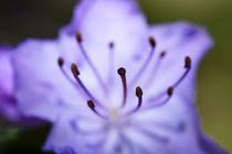 Extreme close-up of purple Azalea stamen . by Danita Delimont