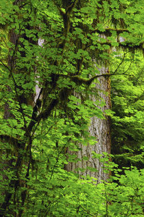 Vine Maple and Douglas Fir, Hoh Rain Forest, Olympic Nationa... by Danita Delimont