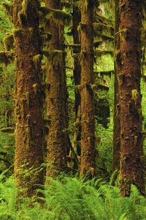 Sitka Spruce and Sword Ferns, Hoh Rain Forest, Olympic Natio... von Danita Delimont