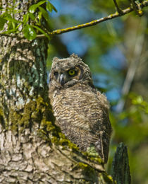 Juvenile Great Horned Owl, Ridgefield National Wildlife Refu... by Danita Delimont