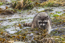 Foraging Raccoon at Low Tide in Tide Pools, Crescent Beach Washington von Danita Delimont