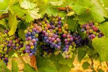 Pinot grapes by Danita Delimont