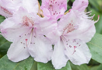 Washington State, Bellevue, Rhododendron by Danita Delimont