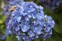 Blue blooming hydrangea flowers, Renton, Washington State, USA. von Danita Delimont