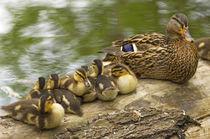 Mallard duck wth ducklings von Danita Delimont