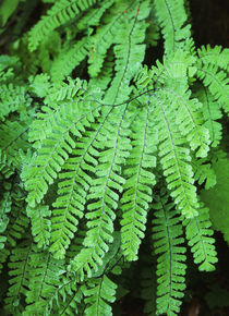 USA, Washington State, Dew covered fern at Mt von Danita Delimont