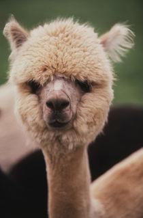 Washington, San Juan Island, Close up of Alpaca Ranch von Danita Delimont