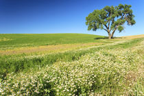 Oak Tree near field of Oxeye Daisies and Wheat, Palouse Area... by Danita Delimont