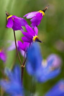 Shooting Stars in Spring Bloom von Danita Delimont