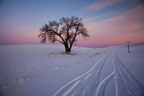 Sunset Bathed Lone Tree in Snow covered Winter Field von Danita Delimont