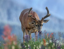 Mule deer in velvet, Olympic National Park, Washington State, USA by Danita Delimont