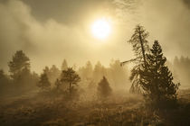 Tree silhouetted at sunrise, Upper Geyser Basin, Yellowstone... by Danita Delimont