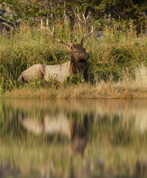 Bull Elk along Madison River, Yellowstone National Park, Wyoming. by Danita Delimont