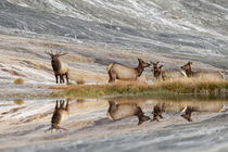 Bull Elk and herd of females and reflection, Canary Spring, ... von Danita Delimont