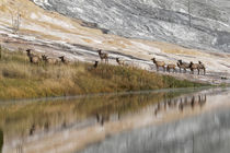 Herd of Elk and reflection, Canary Spring, Yellowstone Natio... by Danita Delimont