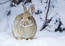 Wyoming, Sublette County, Nuttall's Cottontail Rabbit in snow. by Danita Delimont