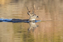 Wyoming, Sublette County, Mule deer buck swimming lake to mi... by Danita Delimont