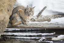 Wyoming, Yellowstone National Park, Bobcat on log along Madison River by Danita Delimont