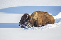 Wyoming, Yellowstone National Park, Bison Cow breaking trail... von Danita Delimont