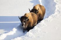 Wyoming, Yellowstone National Park, Bison Cows walking down ... von Danita Delimont